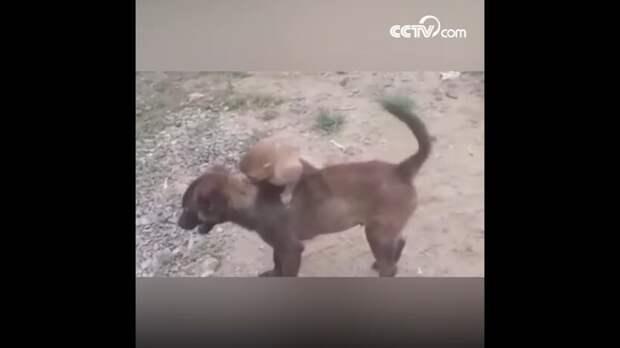 Собака принесла в полицию маленькую обезьянку, чтобы люди позаботились о ней