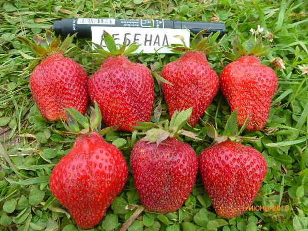 Семь ягод английского сорта Вебенил - разве не великолепие?