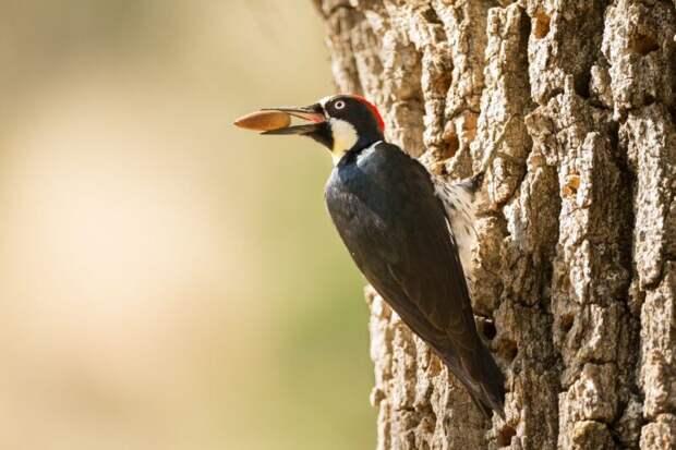 Желудевые дятлы, или Как построить социализм наотдельно взятом дереве