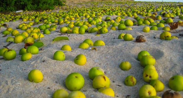 Манцинелла: почему испанцы назвали это растение «деревом смерти»