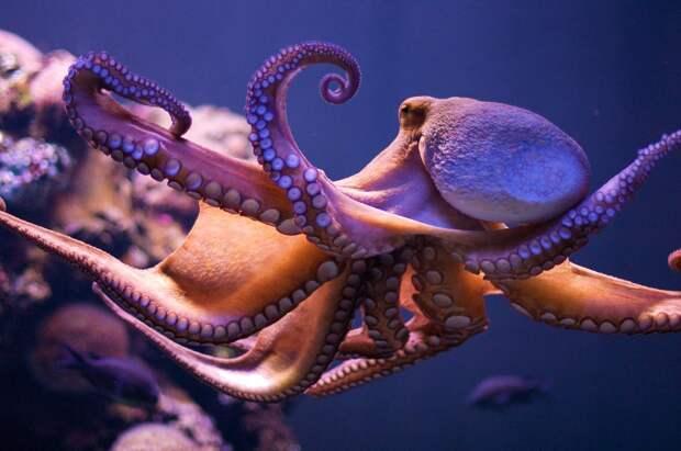 Биологи выяснили, что осьминоги «шлепают» рыб от злости