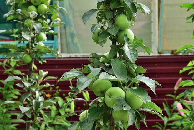 Яблони-колонны: учти тонкости агротехники