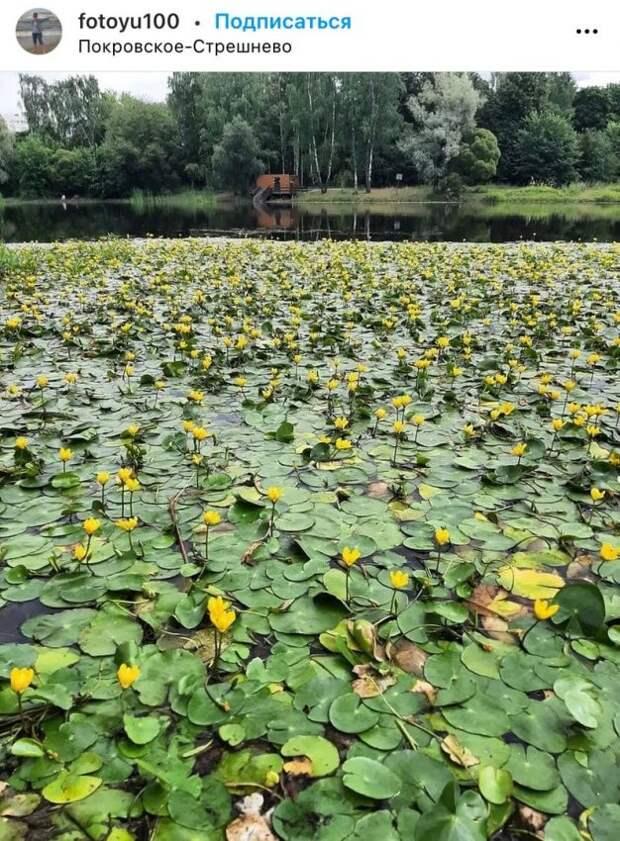 Фото дня: усыпанный кувшинками водоем в парке «Покровское-Стрешнево»