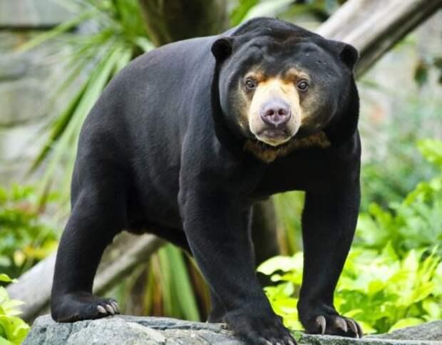 Малайский медведь или бируанг – описание, фото, где живет, характер
