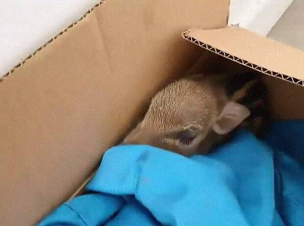 Женщина приютила дикого кабанчика, которого нашла в коробке под своей дверью