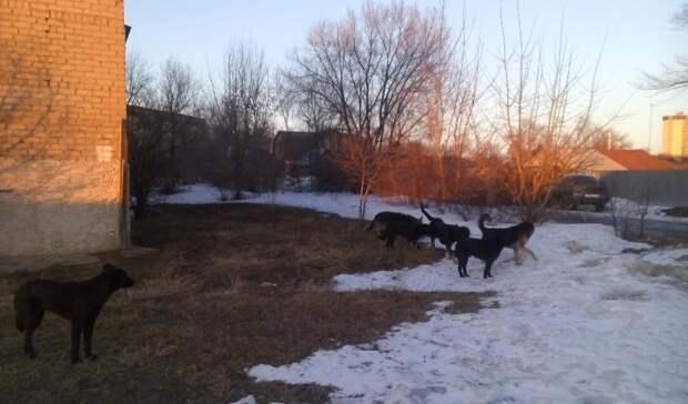 ВОренбурге будут отлавливать только самых агрессивных собак