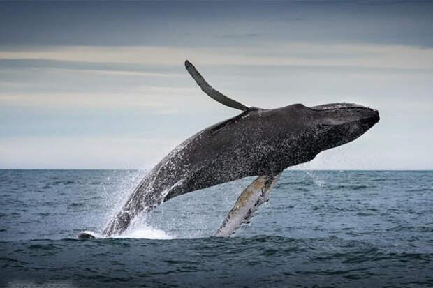 Это не треска. Это кит.