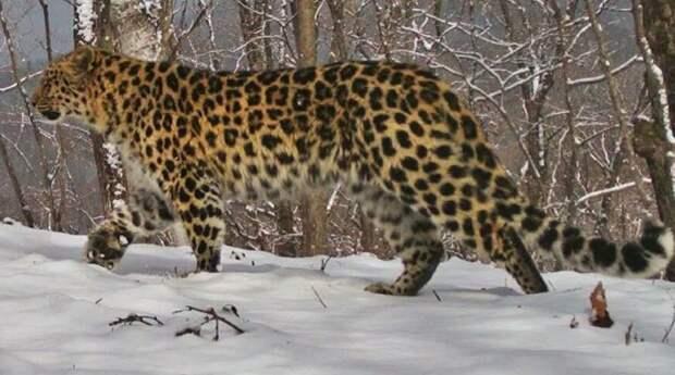 Нацпарк в Приморье показал видео леопарда, снятое для корейского фильма
