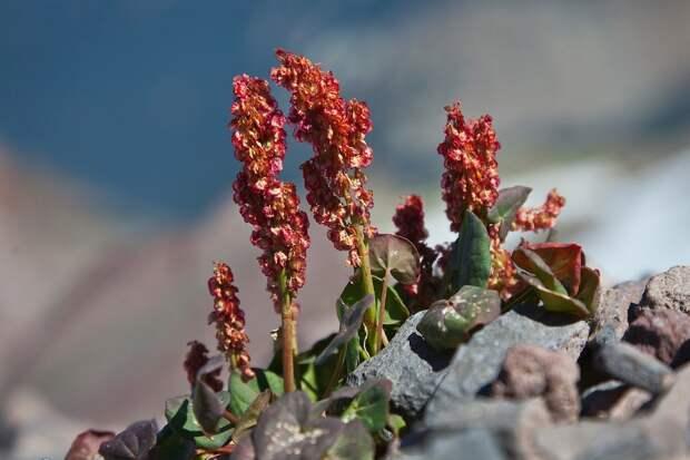 Кисличник: шахтерский салат для альпийской горки