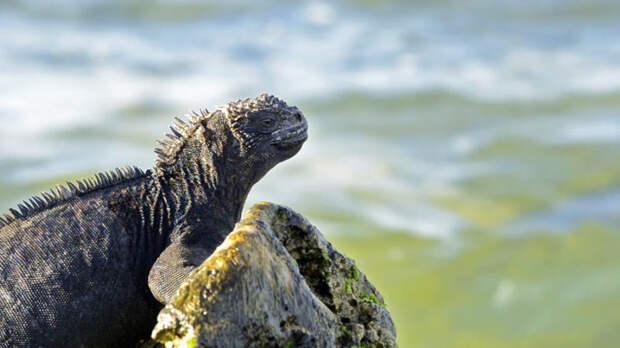 Животные Южной Америки: морская игуана
