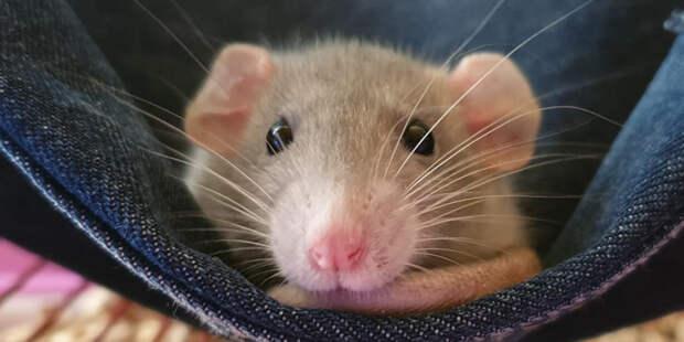 Ученые: способность грызунов дышать ректально поможет людям бороться с COVID-19
