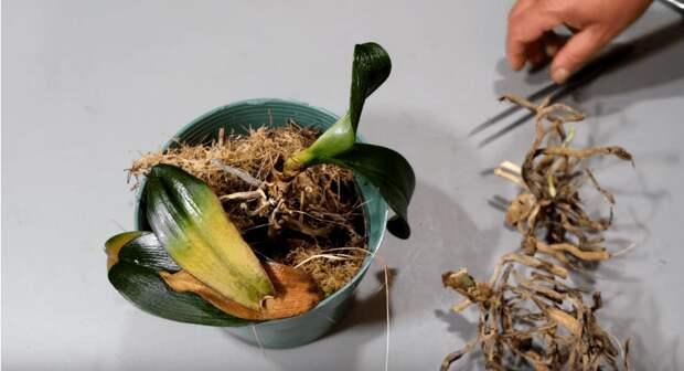 Не выбрасывайте пеньки орхидей! С них еще можно получить потомство