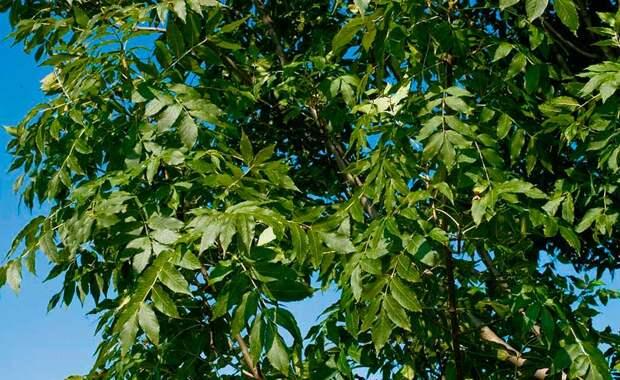 Лекарственное растение Ясень обыкновенный (Fraxinus excelsior)