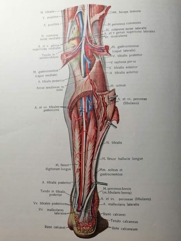 Личное фото из личного Атласа Р. Д. Синельникова. Анатомия  сосудов  и нервов  подколенной ямки  и  голени.