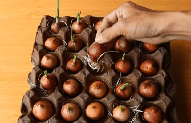 3 неожиданных способа выращивания зеленого лука