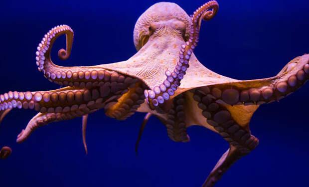 Ученые впервые сняли на видео как спят осьминоги: они видят сны и меняют цвет