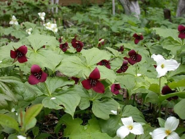 Триллиумы, фото сайта Энциклопедия садовых растений