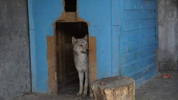 Два забитых волчонка жались друг к другу в тесной клетке волк, волки, волчонок, дикие животные, зоопарк