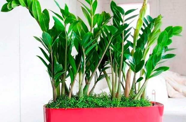 Комнатное растение Замиокулькас (Zamioculcas)