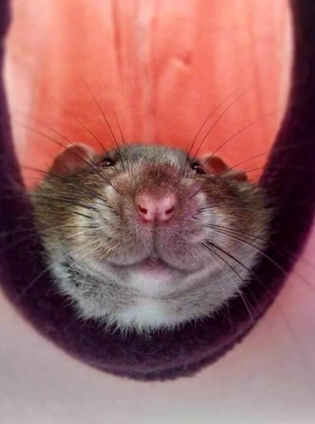 Хомяковидные крысы-сапёры