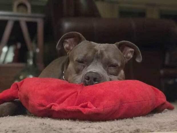 спящий питбуль