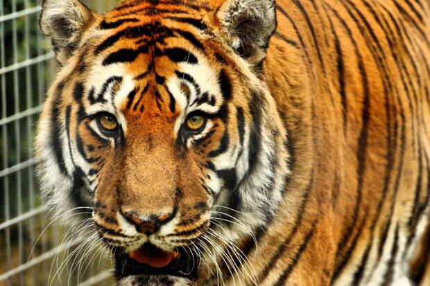 Почему тигры полосатые?