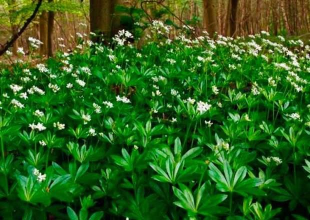 Лекарственное растение Ясменник душистый (Galium odoratum)