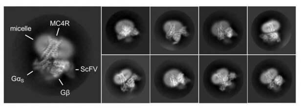 Раскрыт механизм работы «выключателя» голода в мозге