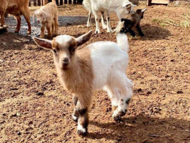 Пополнение в зоопарке Ижевска: 13 малышей за две недели