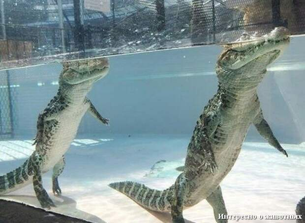 Крокодилы на задних лапах