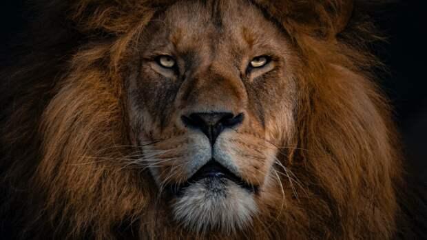 Жители Урюпинска завели льва и он пугает соседей (видео)