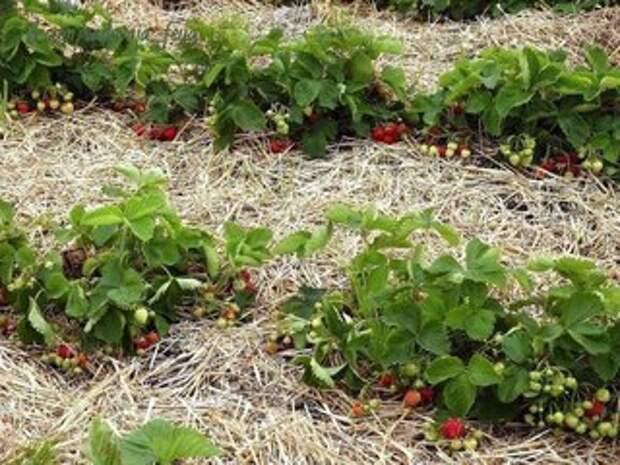 Как правильно посадить клубнику — 4 способа посадки