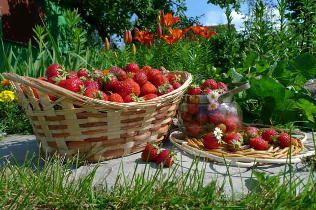 Клубника. Как я получила богатый урожай. Современные способы выращивания клубники из семян