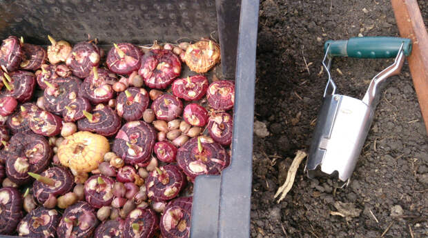 Всегда хранила луковицы гладиолусов дома до весны, а теперь - высаживаю их под зиму.