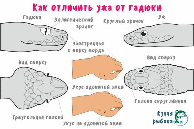 Чтобы определить, какая змея вас укусила, посмотрите на отпечаток. Если дырки две — принимайтесь за всё, что мы перечислили выше. Если четыре — можете расслабить булки, вас укусил уж.