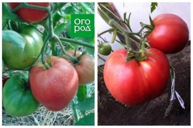 высокорослые томаты Биг Бой