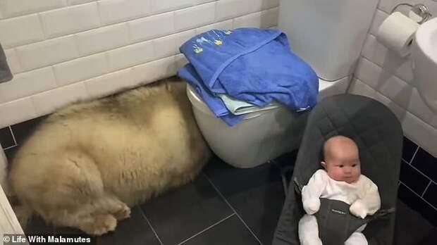 Кот помог заманить маламута-трусишку в ванну, а сам стащил его вкусняшку