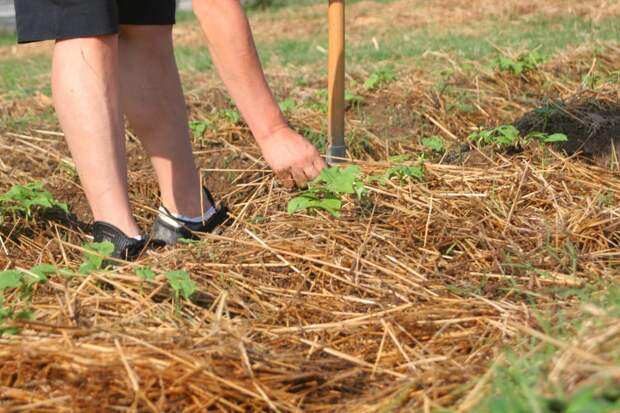 Весной не спешите мульчировать почву