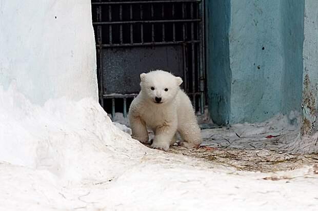 В Красноярском крае вахтовики спасли белого медвежонка