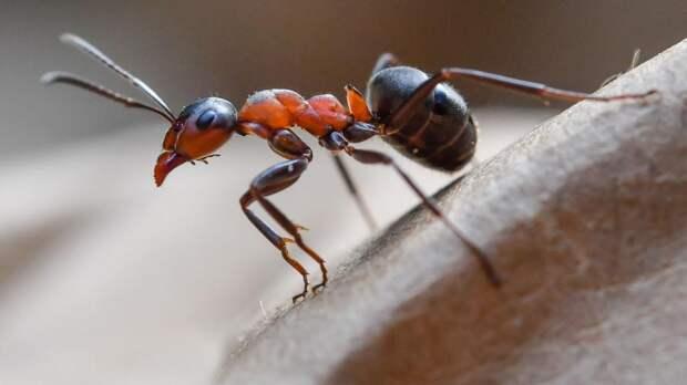 Зараженные паразитами муравьи живут дольше своих собратьев