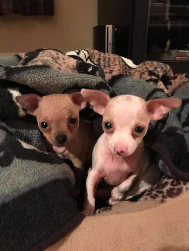 Атлет всю жизнь ненавидел мелких собак, пока не встретил одну чихуахуа истории, история, история спасения, собаки, трогательно, чихуахуа