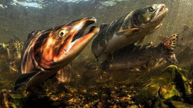Нерест русской горбуши в Норвегии может стать угрозой для атлантического лосося