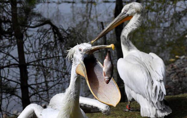 Пеликаны Московского зоопарка вернулись на болото