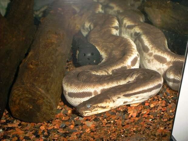 Яванская бородавчатая змея  (лат. Acrochordus javanicus)