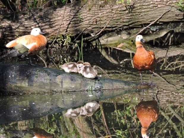 В парке «Кузьминки-Люблино» посчитают птенцов огарей и гоголей