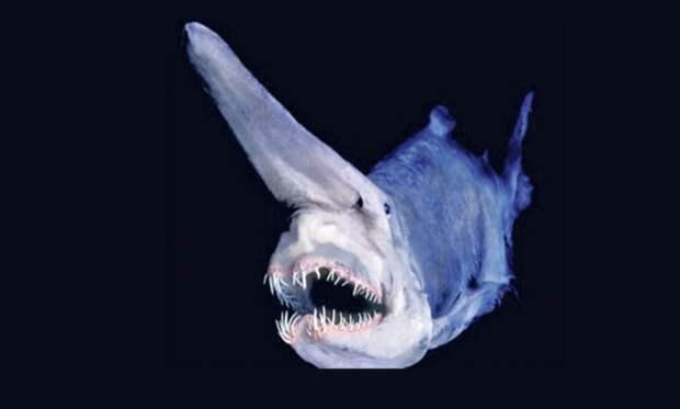 Акула-домовой