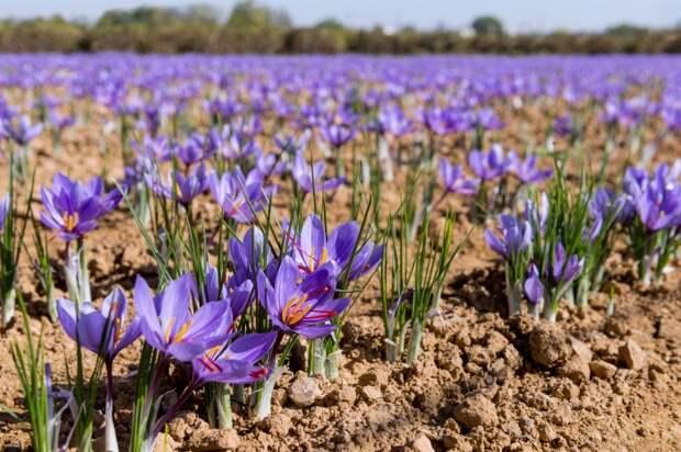 Для посадки шафрана лучше выбирать сухое место с достаточным количеством солнечного света / Фото: m.123ru.net