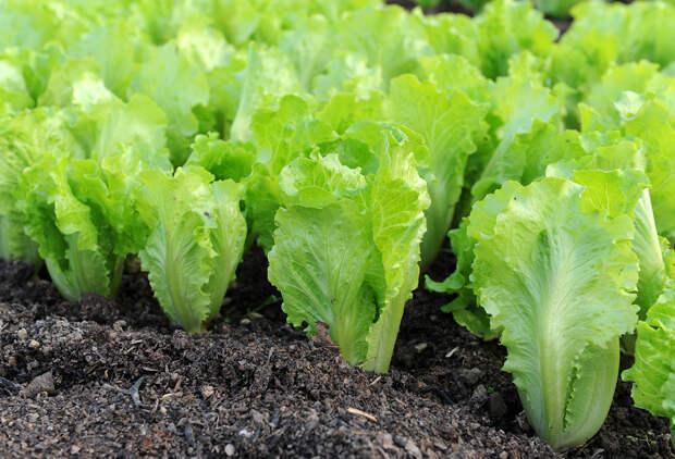 Какие салаты посеять этой весной?