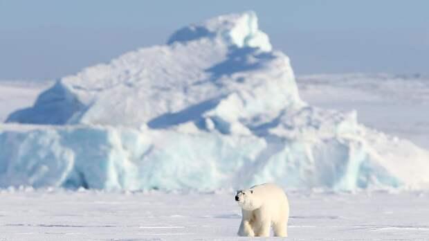 В Якутии белый медведь впервые в истории отошел на 2,5 тыс. км от полюса