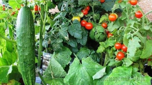 Что можно сажать рядом с помидорами в теплице и открытом грунте